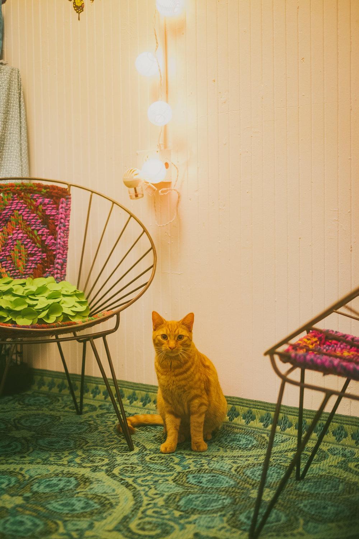 re home your pet u2014 the dancing cat adopt a cat in san jose