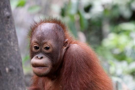 baby_orangutan_562569.jpg