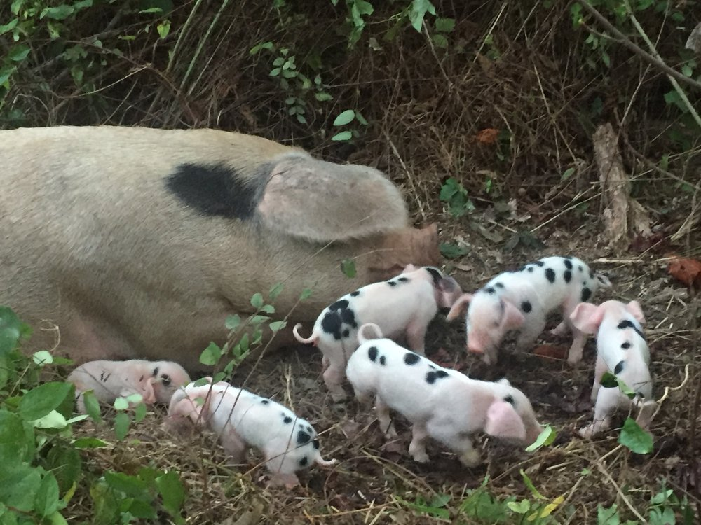 GOS piglets.JPG