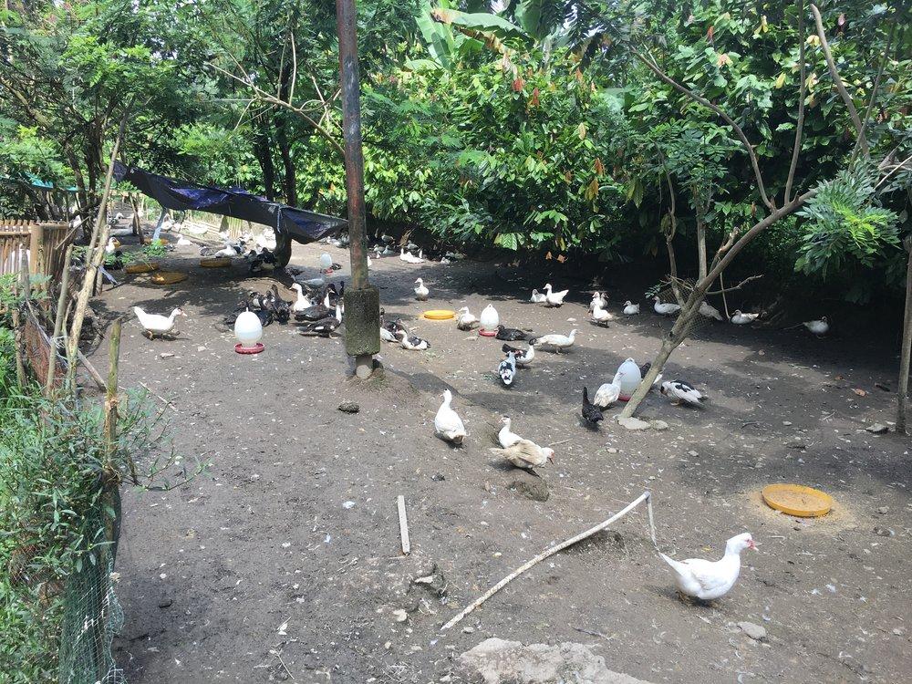 duck 1 (2).JPG