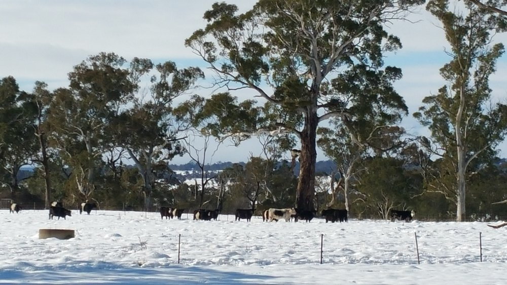 Crookwell snow cattle