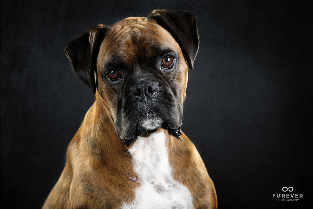 Dog_Photographer_Boxers_ (1 of 7).jpg