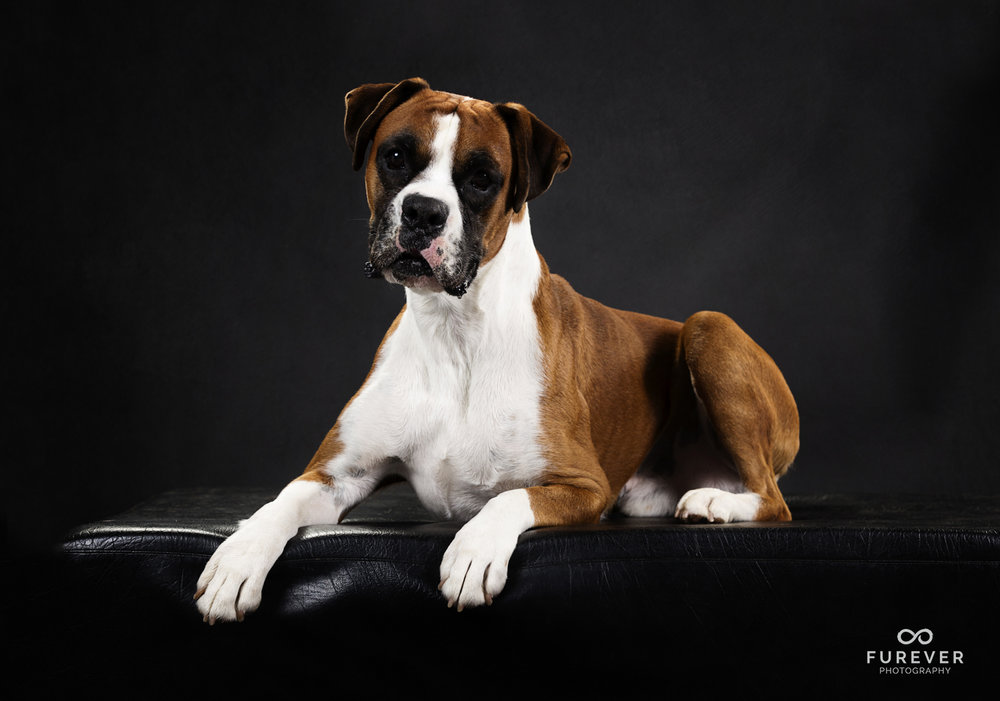 Dog_Photographer_Boxers_ (6 of 7).jpg