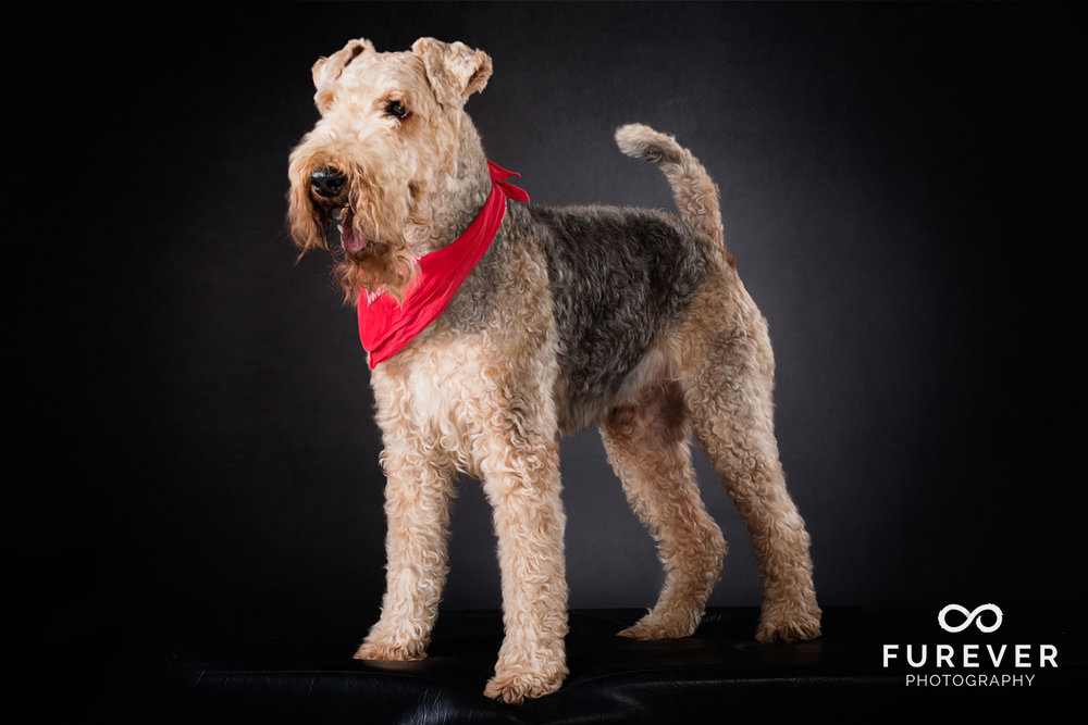 Dog_Photographer_Auckland_ Airedales - Rocky.jpg