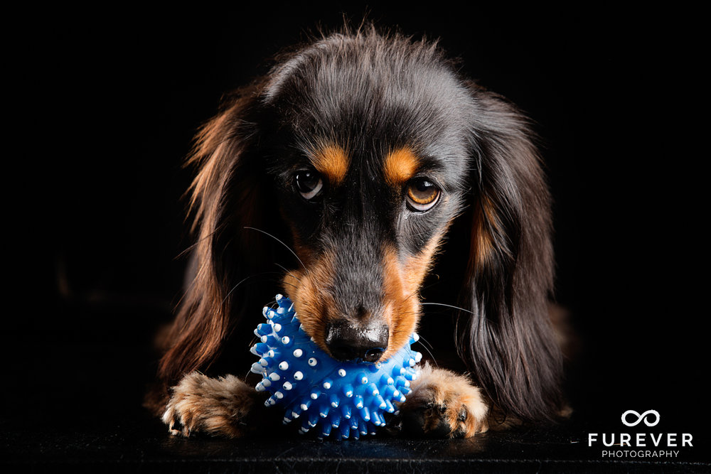 Dog_Photographer_Auckland_ Close_ Long haired miniature dachshund - Stanley Pritchard.jpg