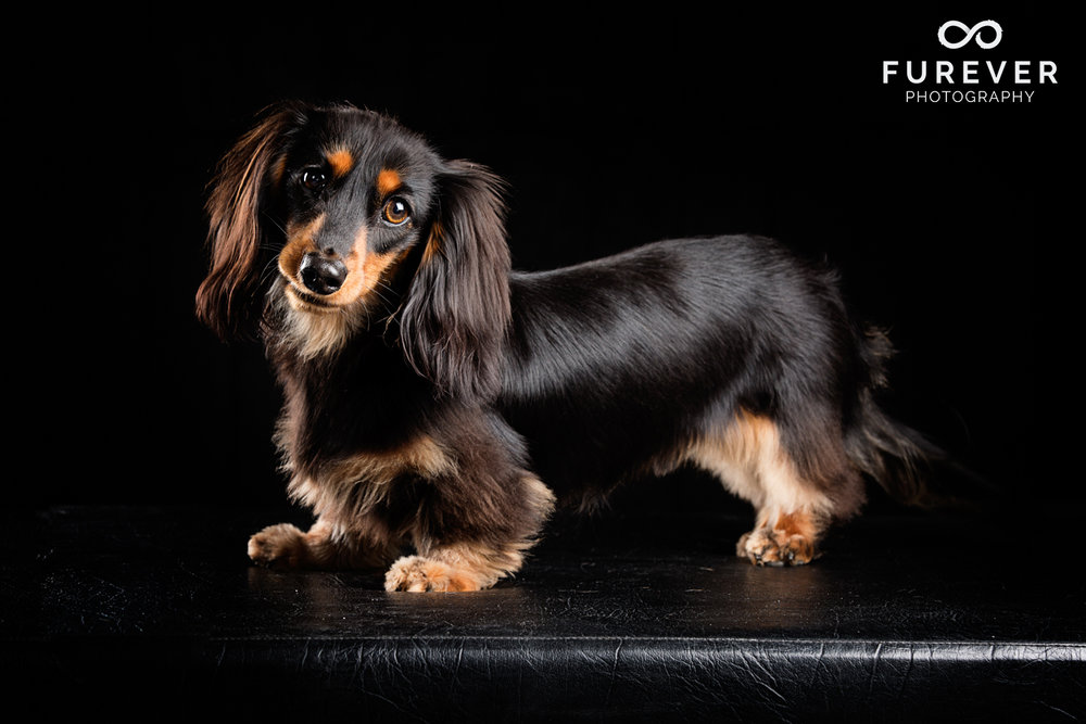 Dog_Photographer_Auckland_ Long haired miniature dachshund - Stanley Pritchard.jpg