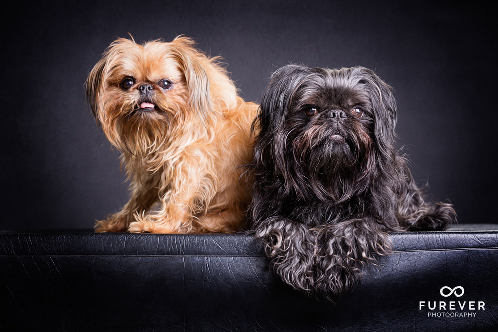 Dog_Photographer_Auckland_ Brussels Griffons -George & Digger.jpg