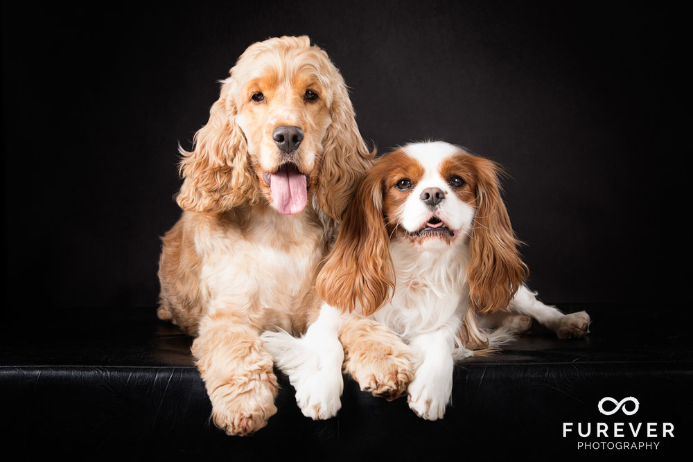 Dog_Photographer_Auckland_ King Charles Spaniel and Golden Cocker Spaniel - Dudley and Wilson.jpg