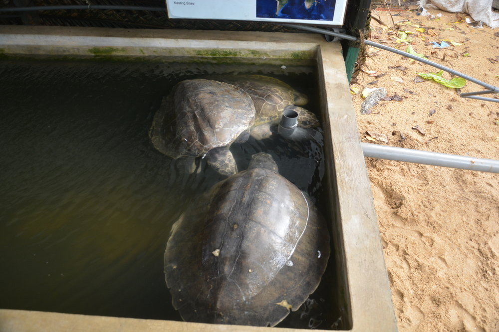 Flipperless turtles at the sanctuary; the result of entanglement in nets