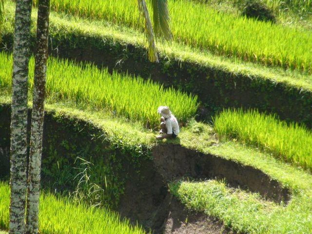 RiceFarmer.jpg