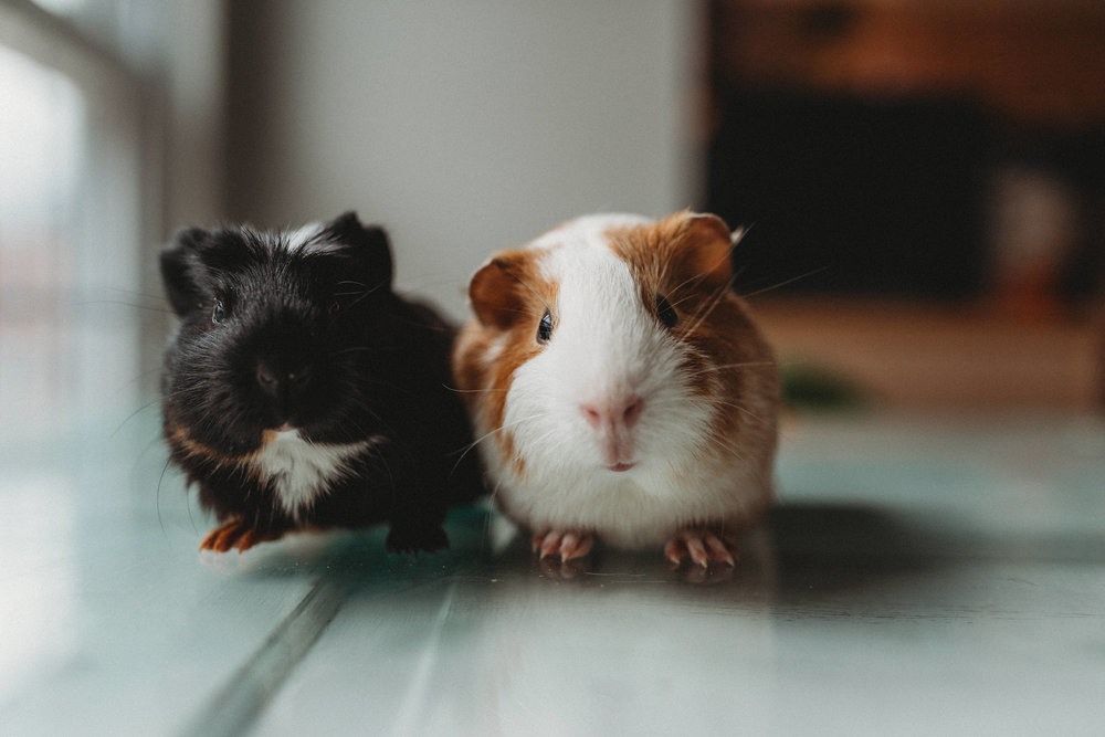 We added these two to the family. Welcome, Sprinkles (left) and Cupcake (right)!