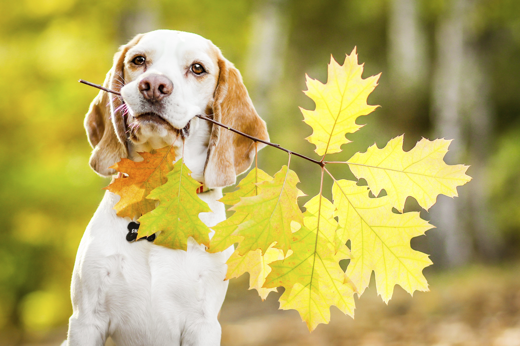 Beagle-dog-with-leaves-in-his-mouth-000032797854_Medium.jpg