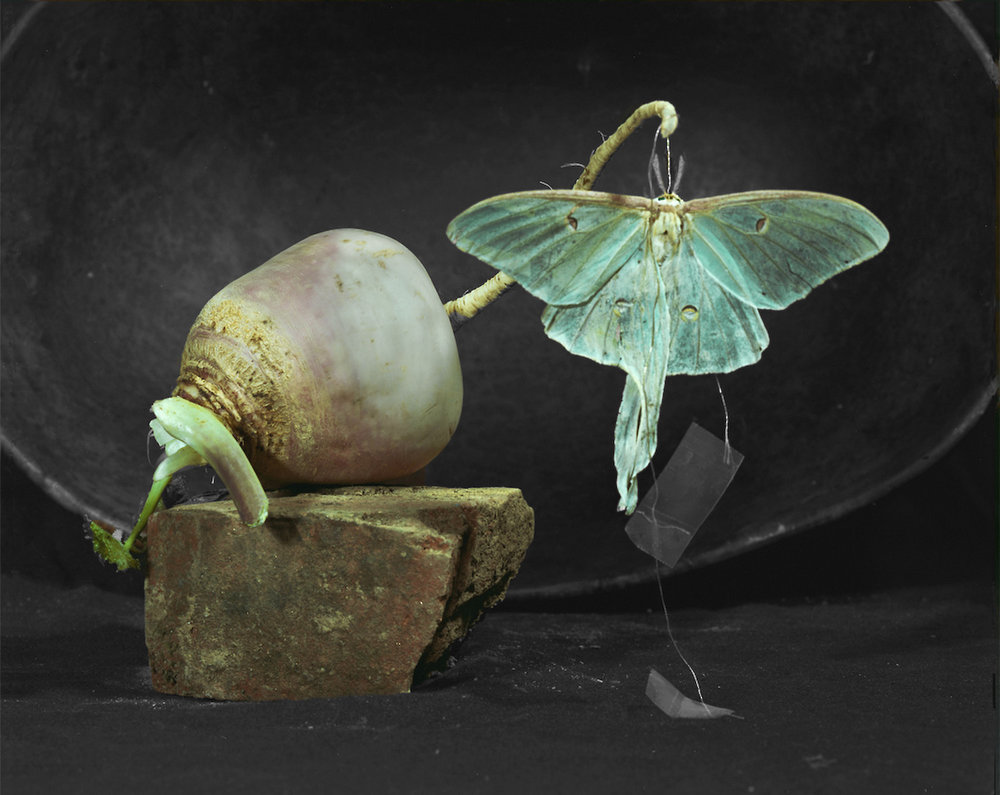 Alida_Fish_alternative_process_photographer_Luna_moth.jpg