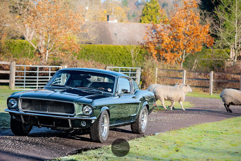 Stella Scordellis Mustang & Sheep Watermarked.jpg