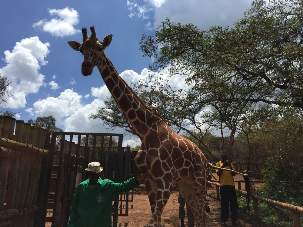 Jack the giraffe was curious about the new visitors with the black shiny objects.