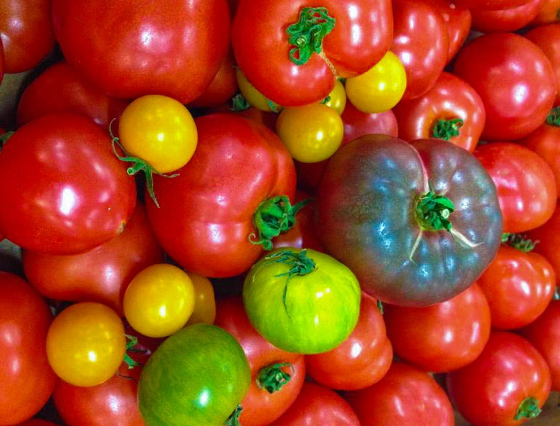 tomato pic-2.jpg