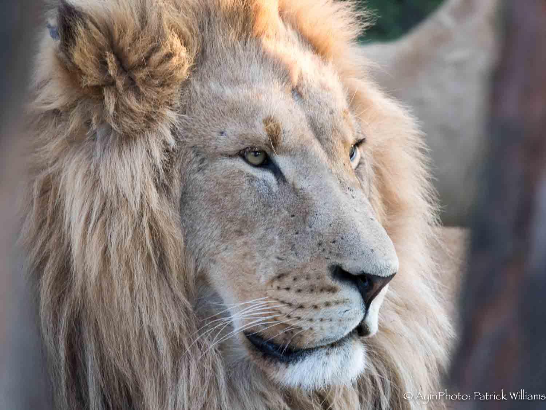 African Lion-7117.jpg