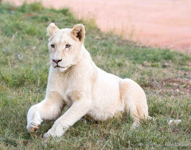 African Albino Lion-7155.jpg