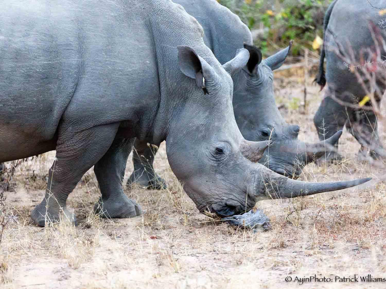 African White Rhinoceros-5536.jpg