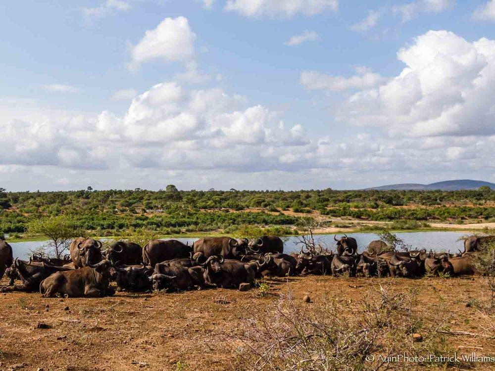 Africa, Cape Buffalo-6892.jpg