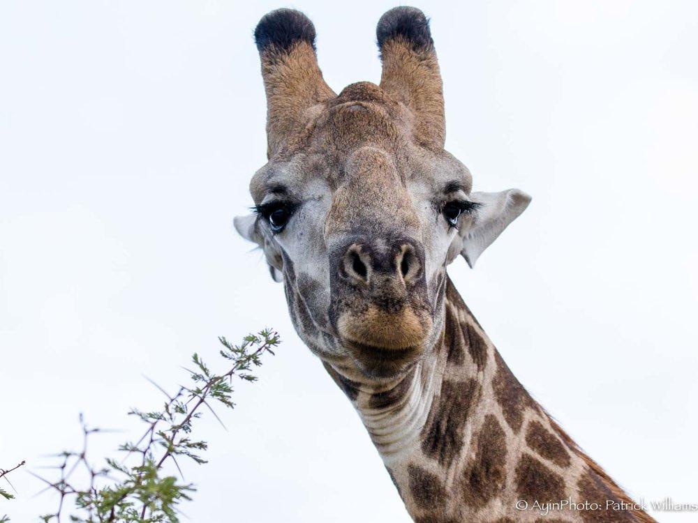 Africa, Giraffe-6751.jpg