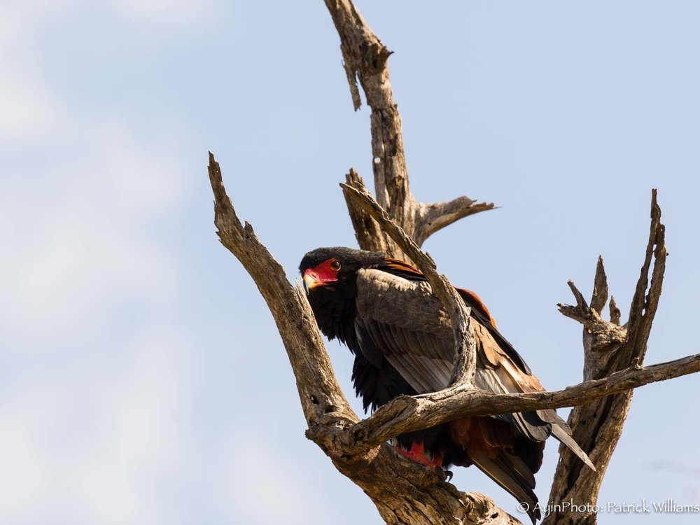 Africa, Bateleur Eagle-5648.jpg