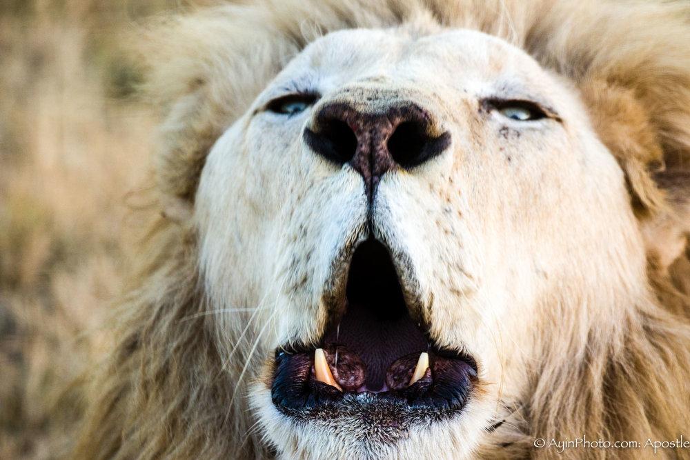 Lion Roaring-7189.jpg