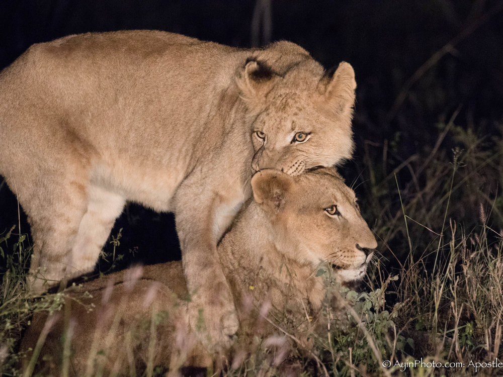 African Lion Swaziland-7902.jpg