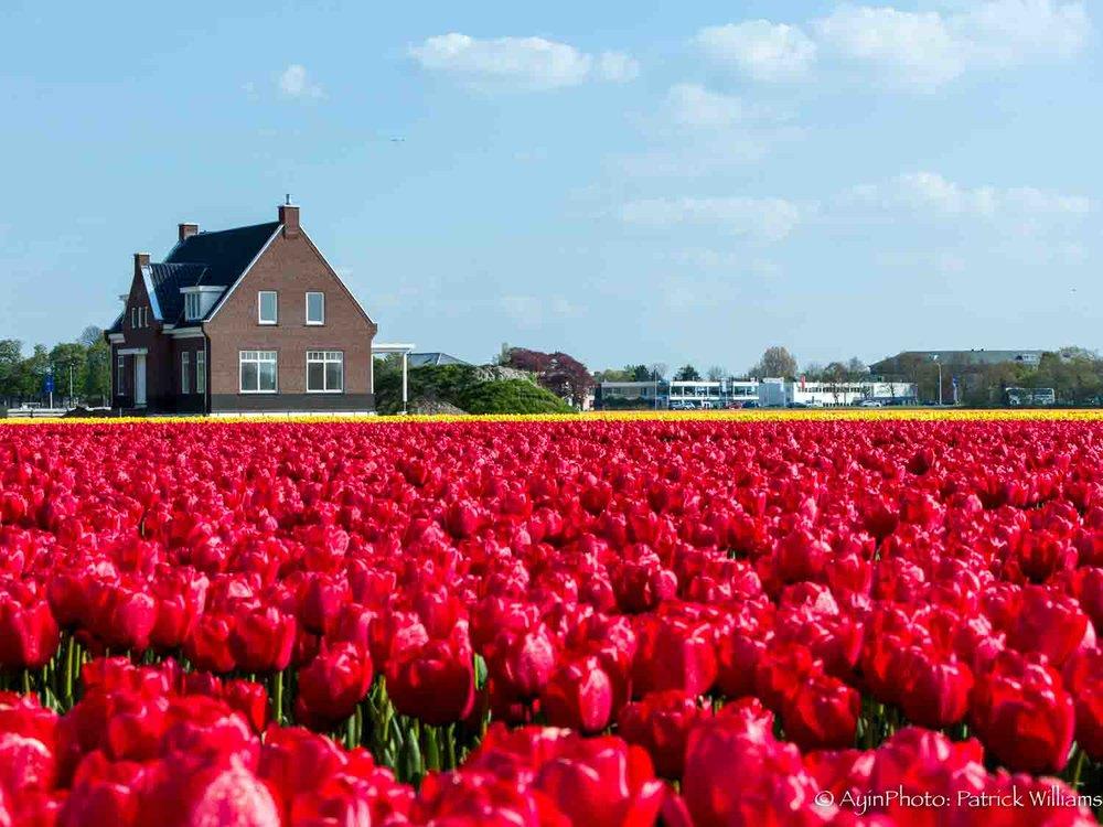 Tulip Field-3666.jpg