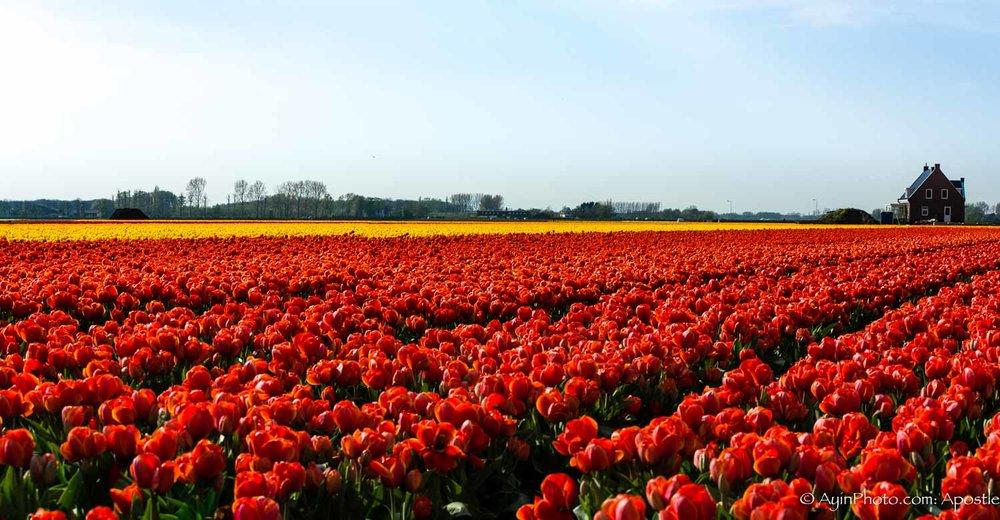 Tulip pano 74A3694-.jpg