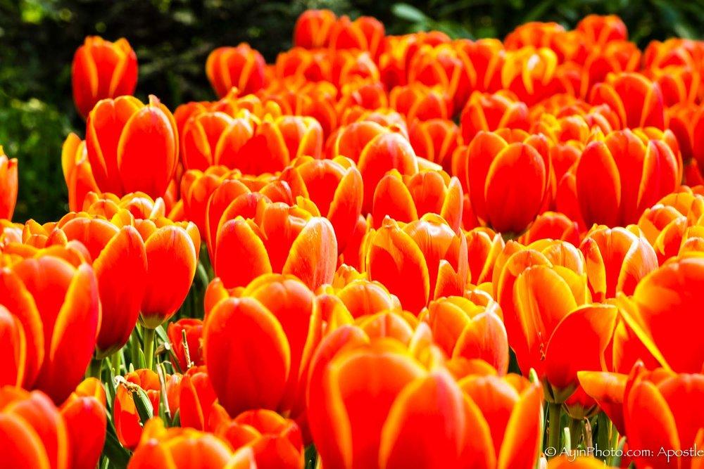 Tulip-3400.jpg