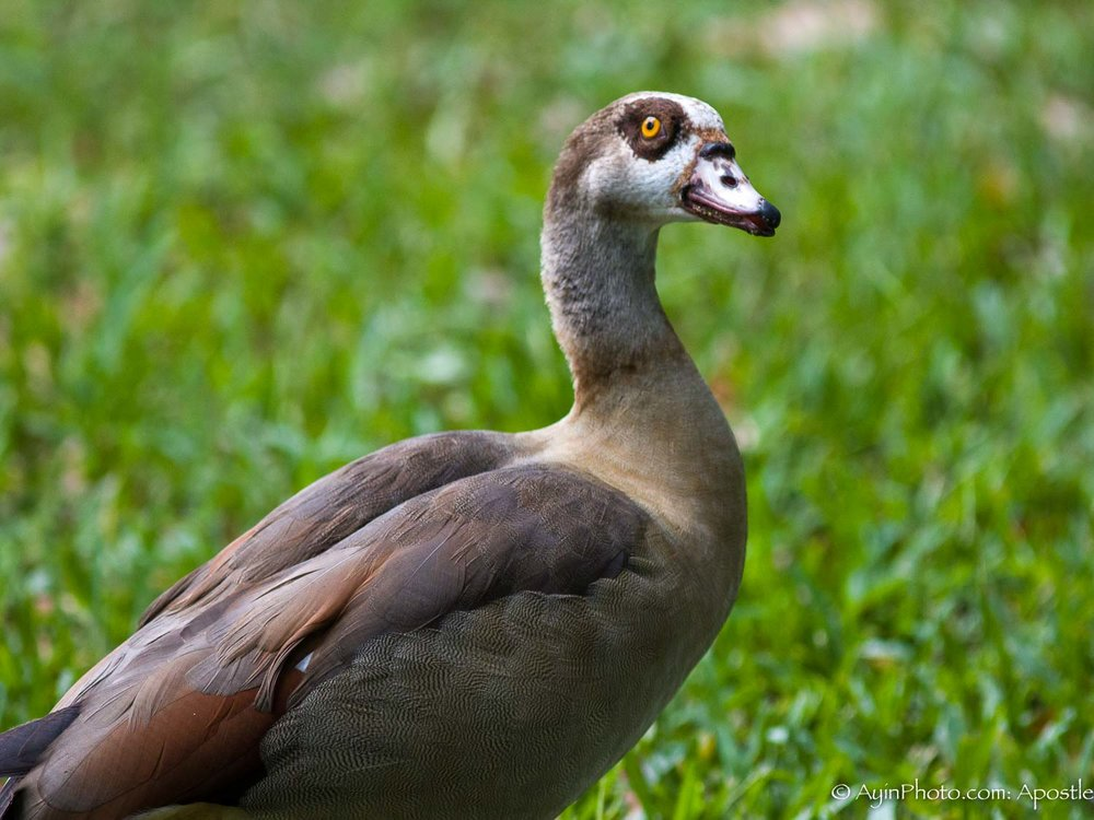 Florida FG Duck-9843.jpg