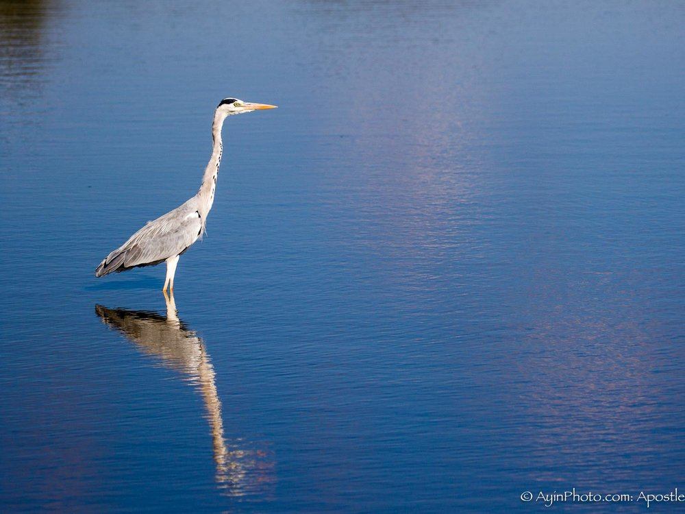 South Africa Gray Heron-5640.jpg