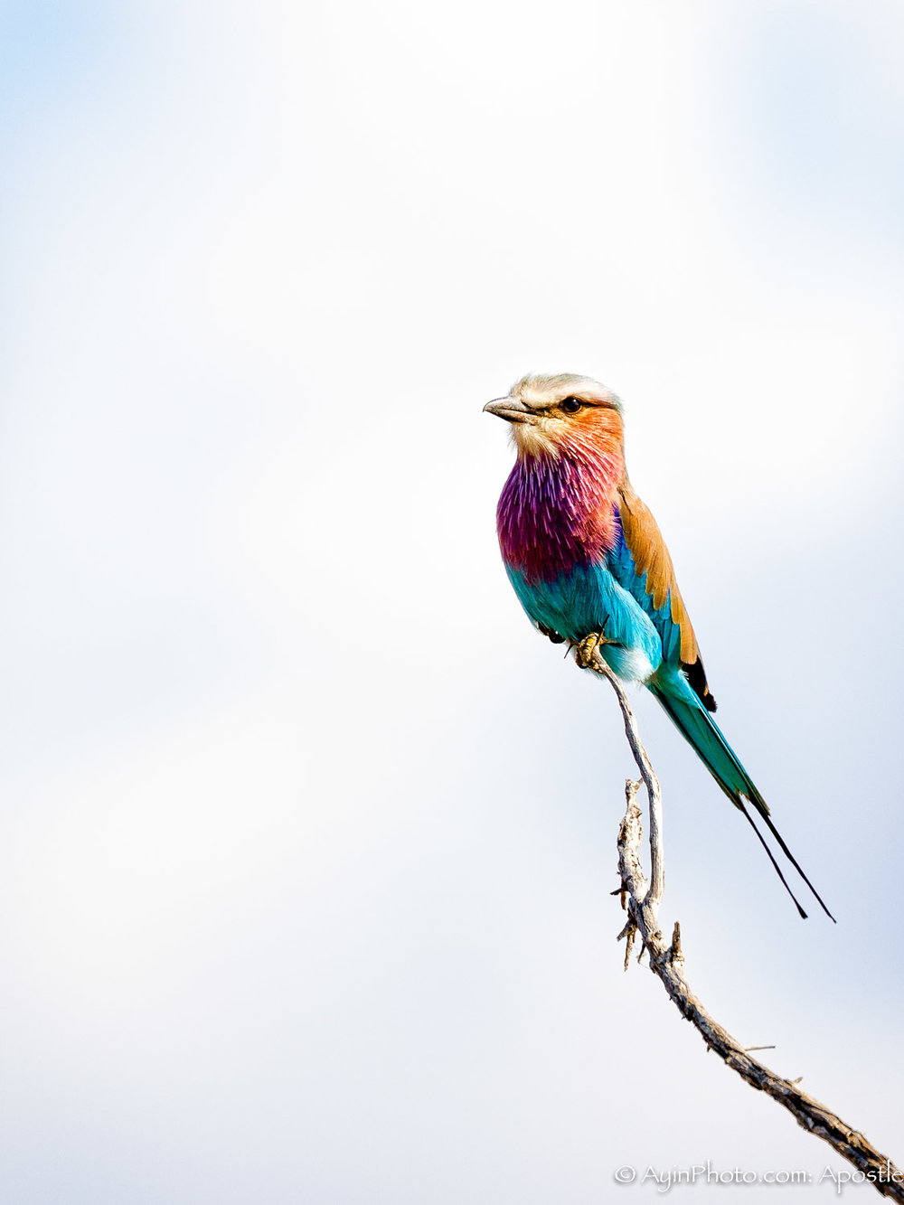 South Africa Lilac Breasted Roller 81A6914-.jpg