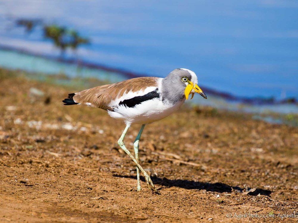 South Africa Wattled Lapwing-5625.jpg