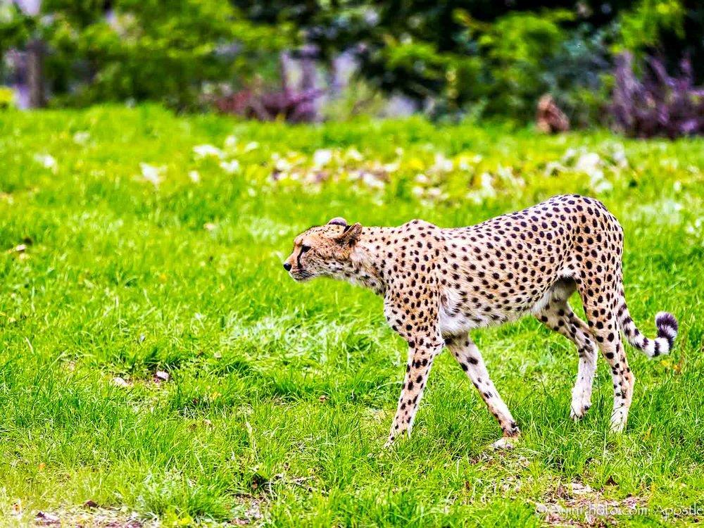 Cheetah 0197-.jpg