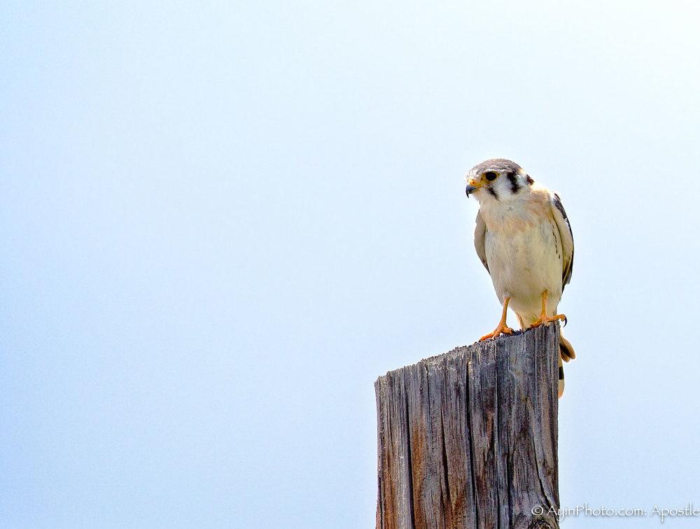 Jamaican Hawk-.jpg
