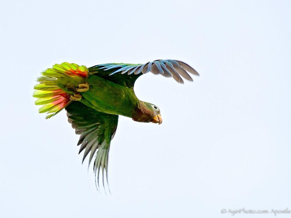 Jamaican Parrot 074A9026-.jpg