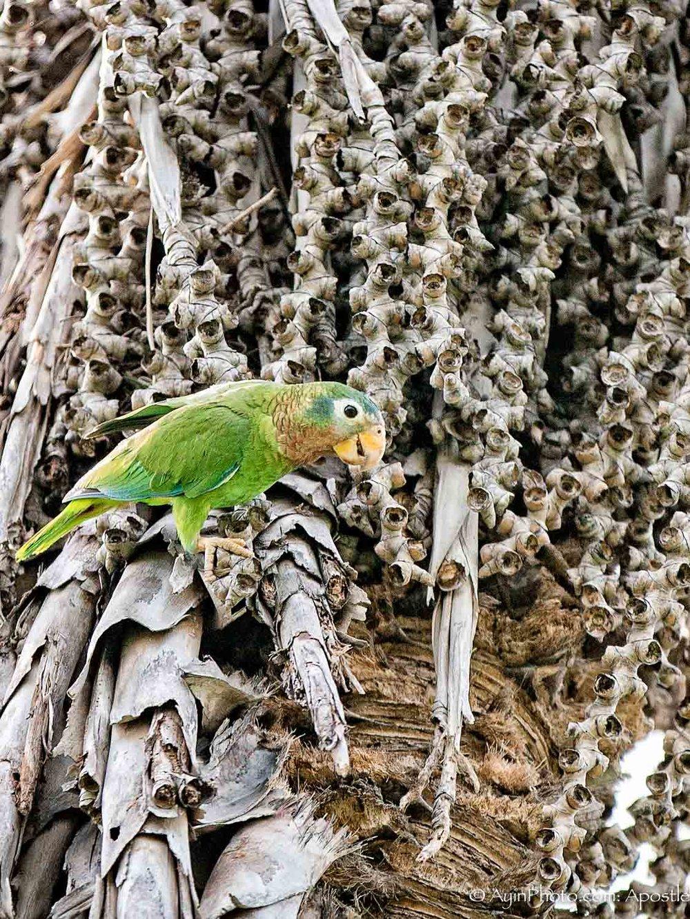 Jamaican Parrot 074A9048-.jpg