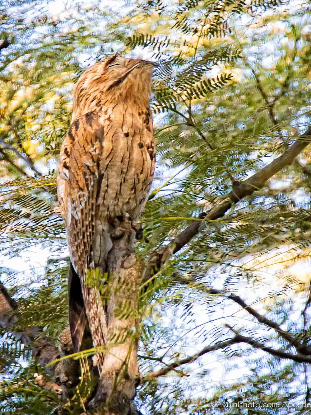 Jamaican Owl Hope Gardens 81A9401-.jpg