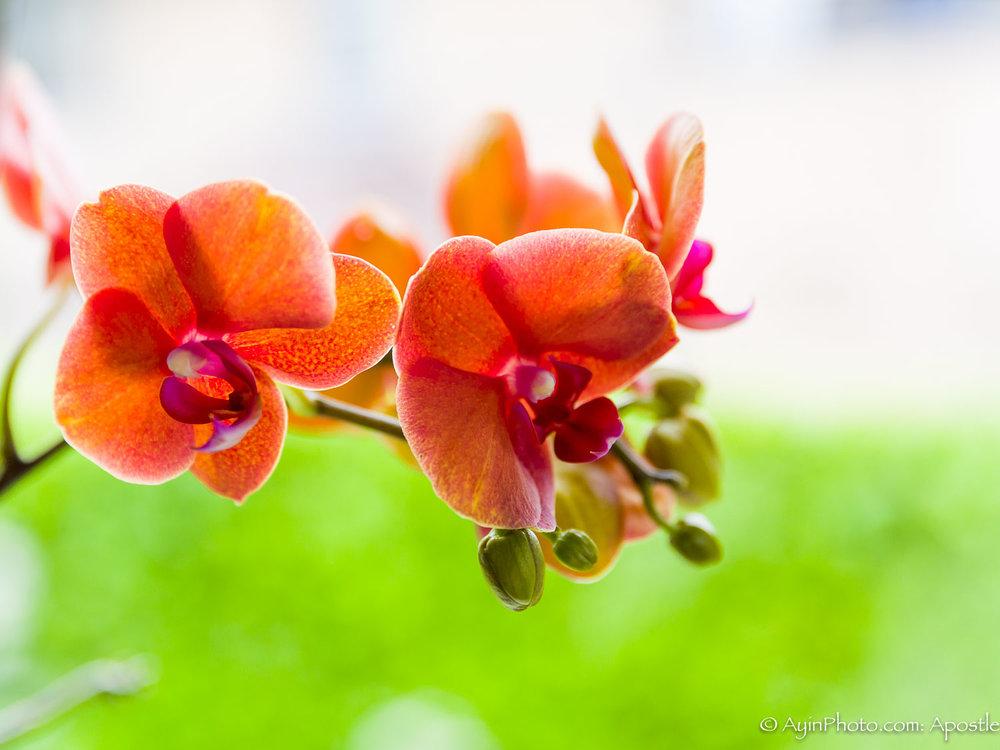 Belgian Orchid-0657.jpg