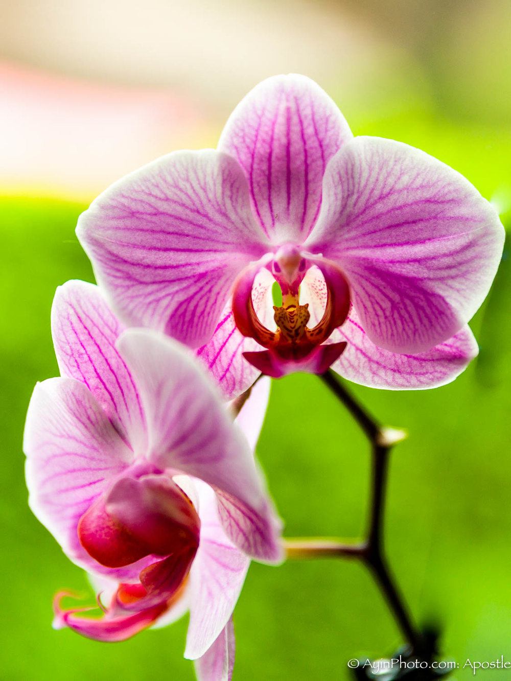 Belgian Orchid-0660.jpg