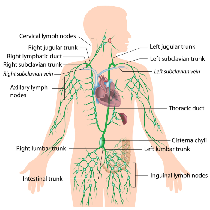 lymph system male.jpg