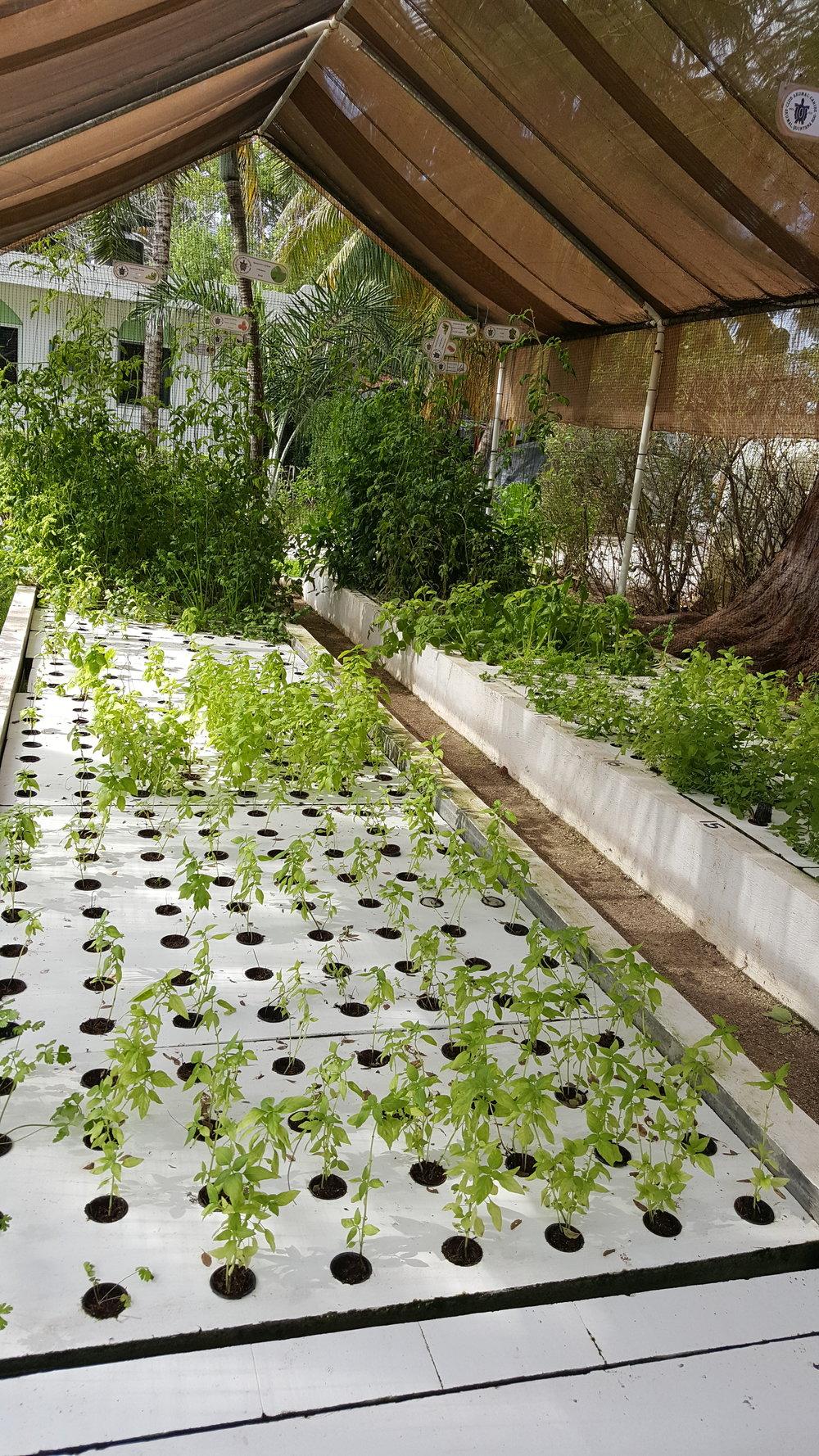Hydroponic garden - Hotel Akumal Caribe