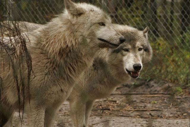 graywolves.jpg