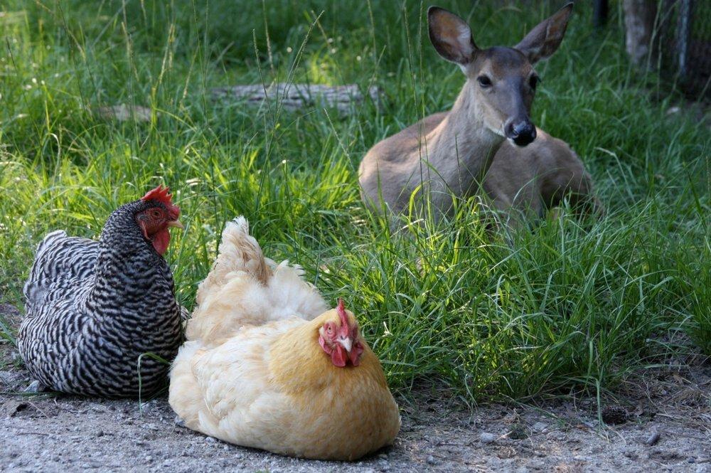 deer_hen.jpg