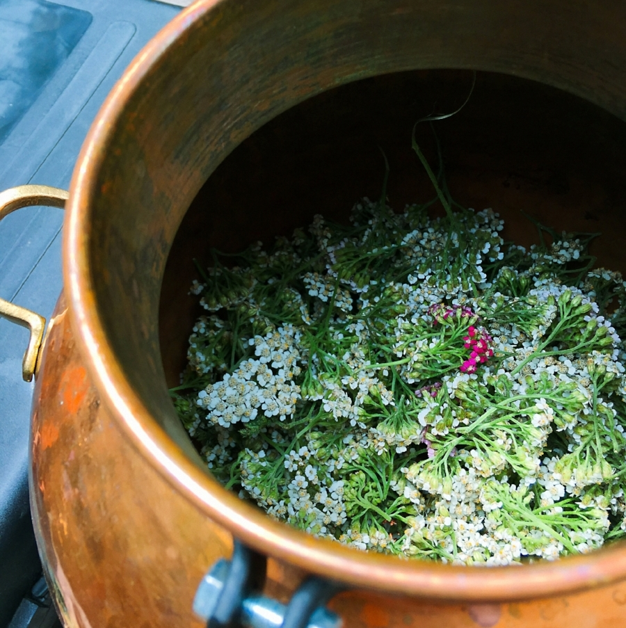 Yarrow in the still