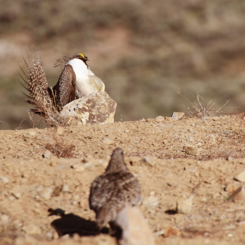 Female observing male sage-grouse strutting Photo by UDWR