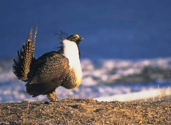Greater Sage-Grouse - Photo copyright by Ron Stewart-2011.jpg