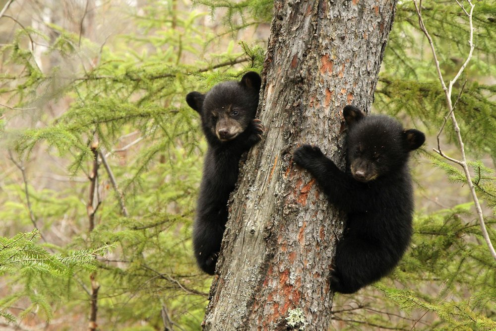 black bear cubs.jpg